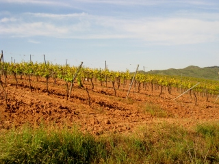 Fresh Plowed Vineyard