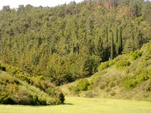 Adjacent Pine Forest