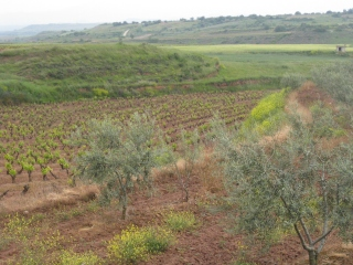 Vineyard & Olive Trees