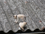 Kittens on the Tin Roof