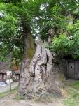 An Aged Chestnut Tree