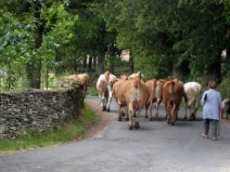 Cattle Down the Road