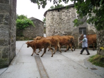 Cattle Coming Out of the Barn