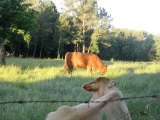 Cows Chillin